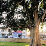 ザアカイの木